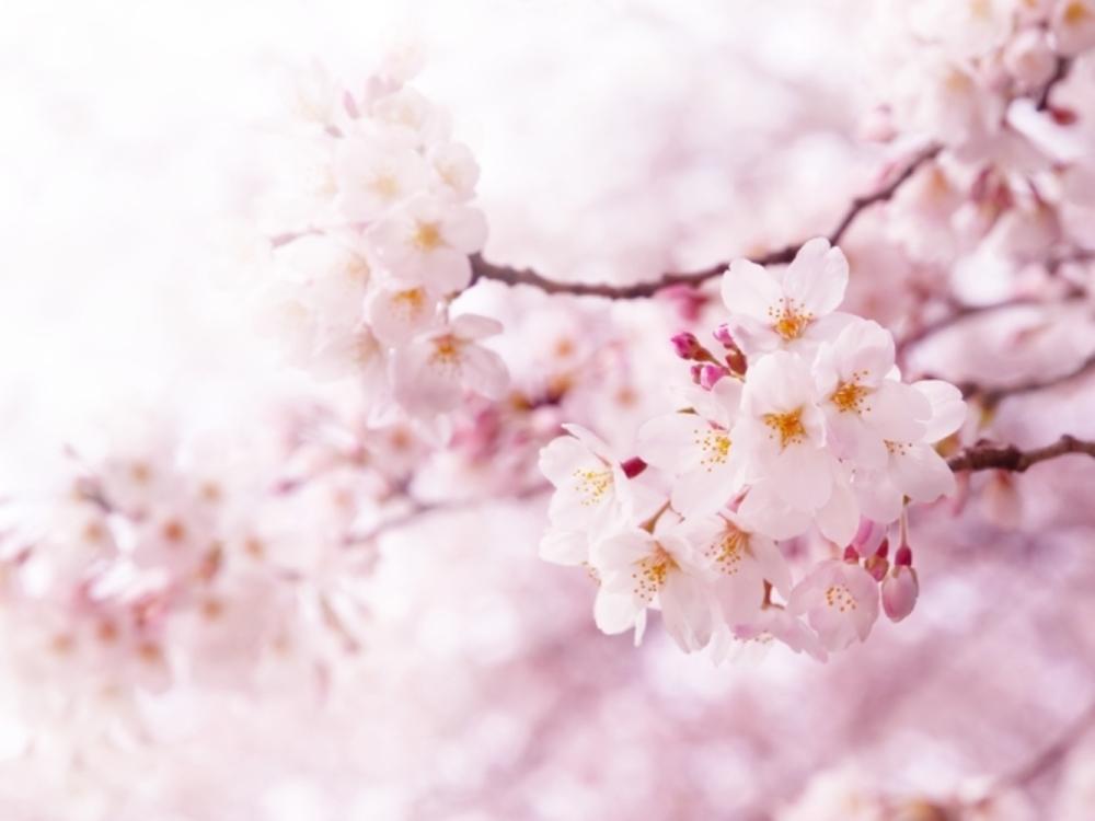 *賀茂川でお花見ピクニック*