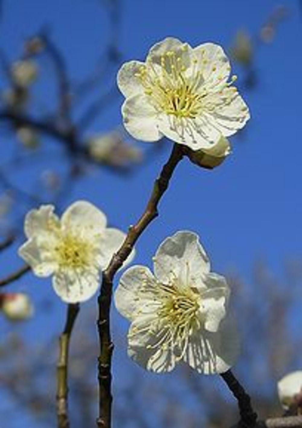 神代植物公園撮影(梅など)