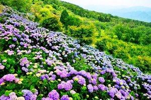 新企画 6月22日(土)秩父 美の山(586M) 紫陽花 初心者向きハイキング