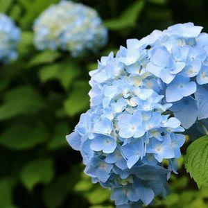 【季節の花撮影】初夏に咲き誇る7000株の紫陽花を撮りに行きましょう!