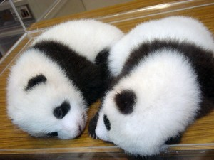 【話題】上野動物園のパンダを観て癒されよう🐼