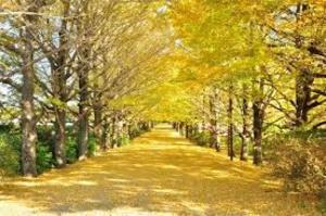 【昭和記念公園×カメラ】いちょうの写真を撮りに行こう✨
