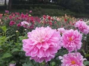 【カメライベント】町田、奇跡のダリア園へ、ダリアを求めてフォトウォーク